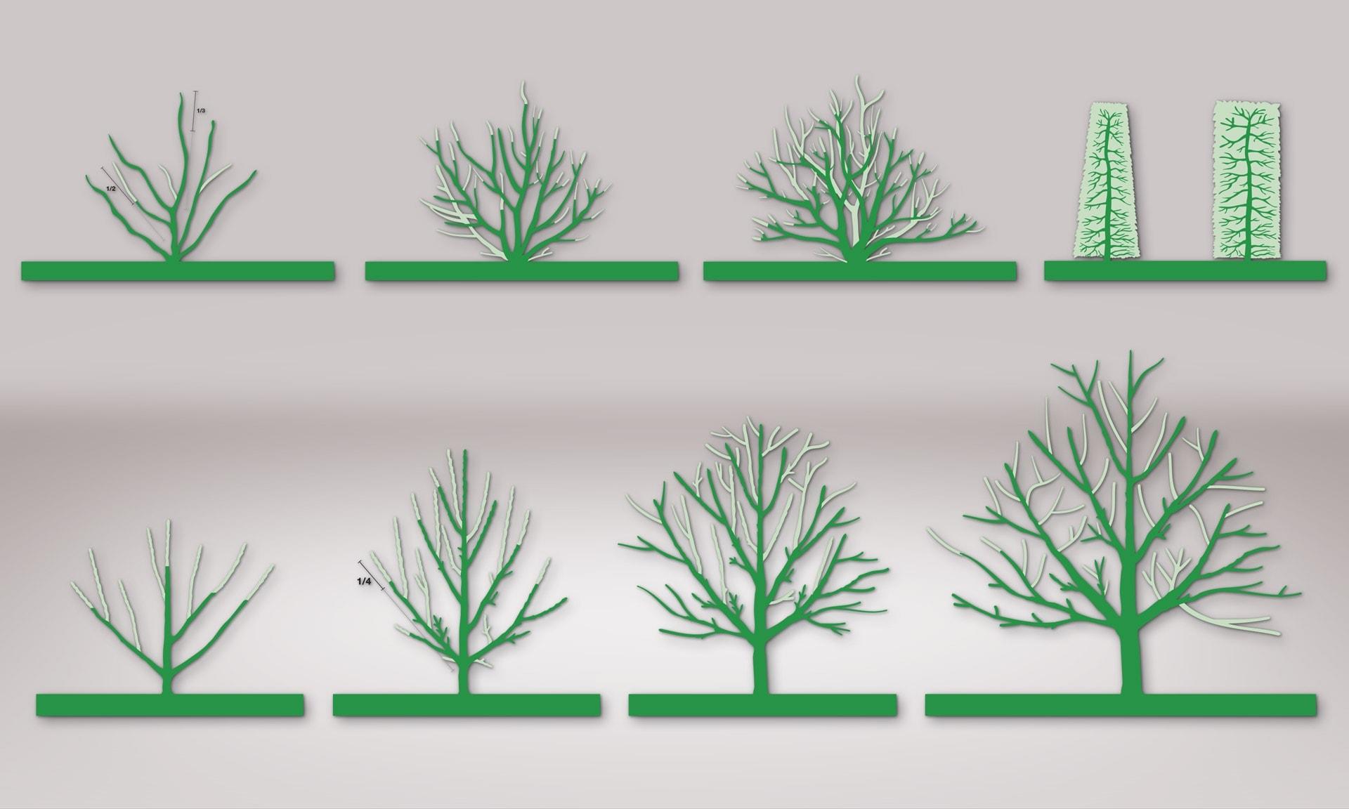 Illustration Pflanzenschnitt